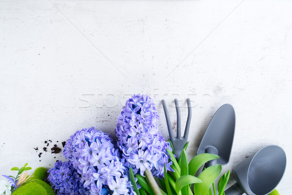 Foto stock: Jardinagem · jacinto · fresco · flores · azul · pá