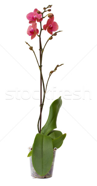 orchid flower in pot Stock photo © neirfy