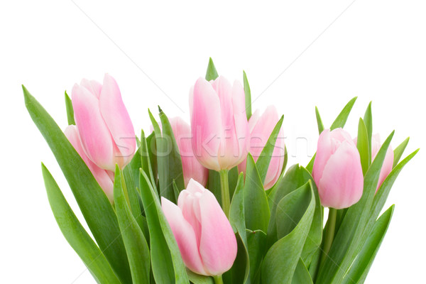 pink   tulips posy close up Stock photo © neirfy
