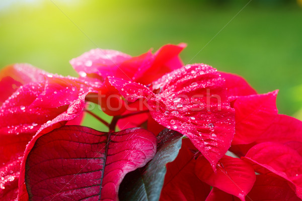 garden with poinsettia flowers or christmas star  Stock photo © neirfy