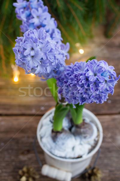 Inverno jacinto fresco azul branco pote Foto stock © neirfy