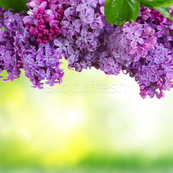 сирень цветы зеленый границе саду Сток-фото © neirfy