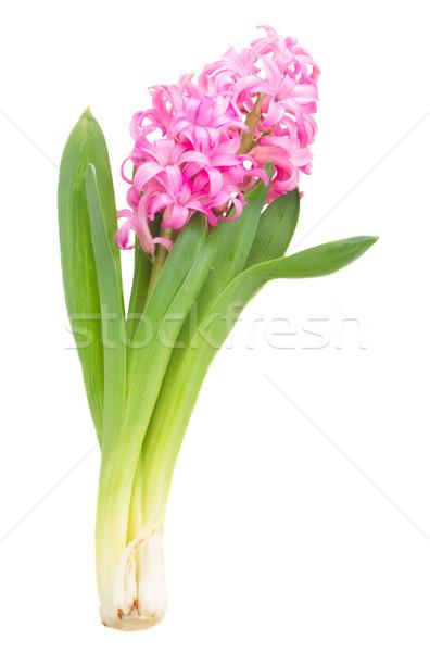 ピンク バイオレット ヒヤシンス 花 孤立した 白 ストックフォト © neirfy