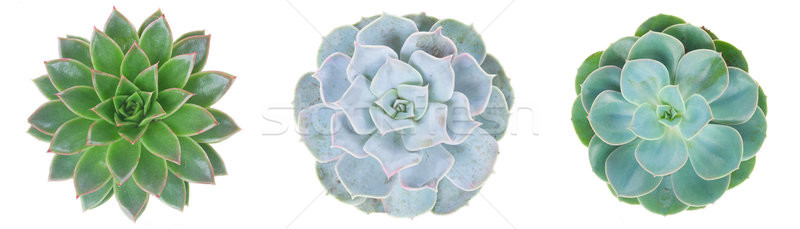 Succulent on white Stock photo © neirfy