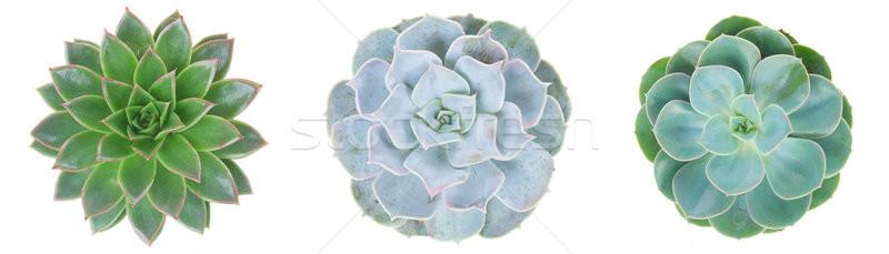 Nedvdús fehér három zöld növény izolált Stock fotó © neirfy