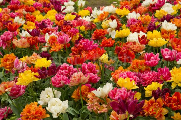 Verdubbelen tulpen kleurrijk bloemen tuin holland Stockfoto © neirfy