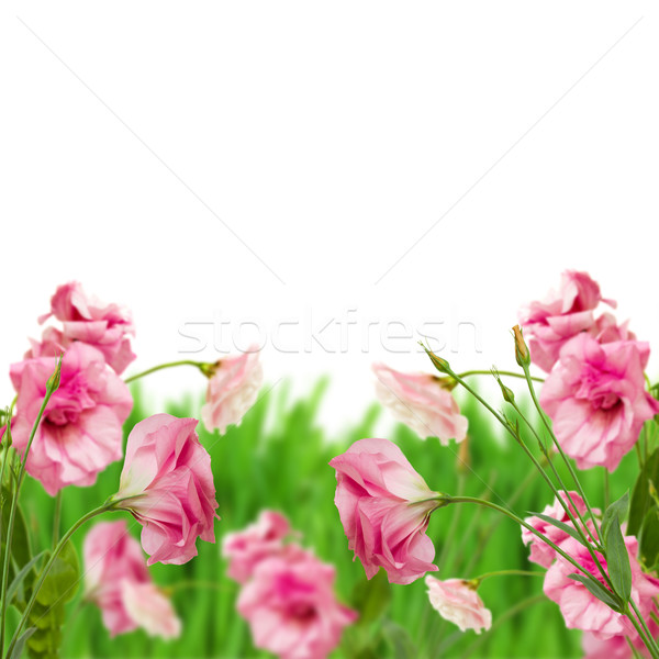 pink eustoma flowers in grass Stock photo © neirfy