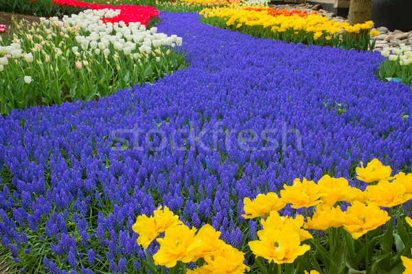 blue river of flowers in holland garden Stock photo © neirfy