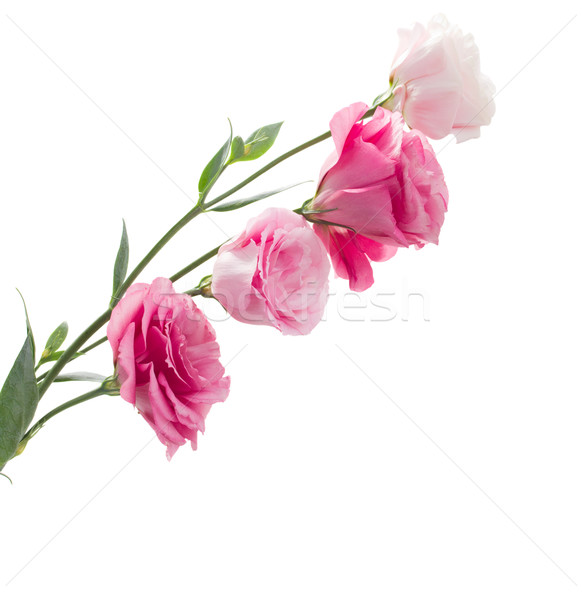 Branch of pink eustoma flowers Stock photo © neirfy