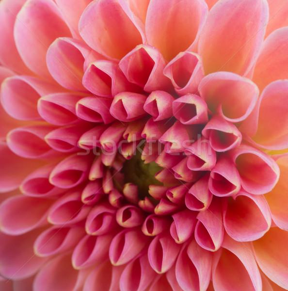 Dahlia flower Stock photo © neirfy