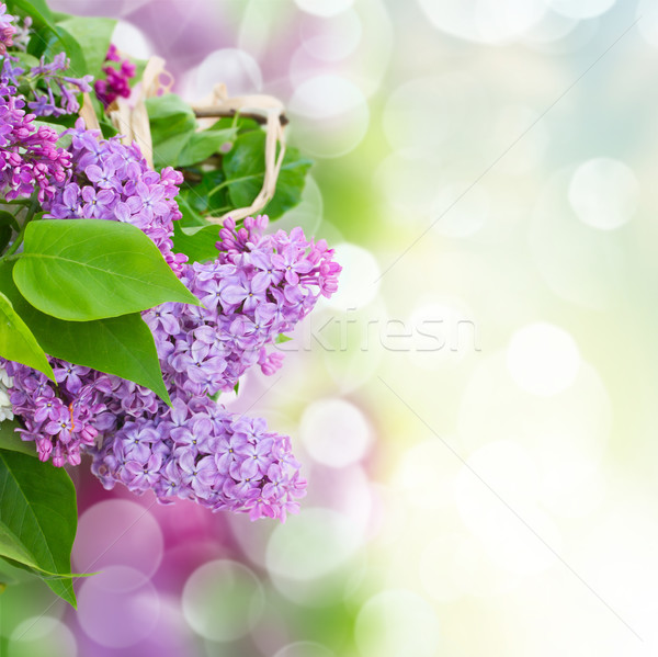 Lilac flowers in garden Stock photo © neirfy