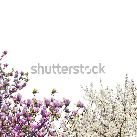 Blooming magnolia tree Stock photo © neirfy