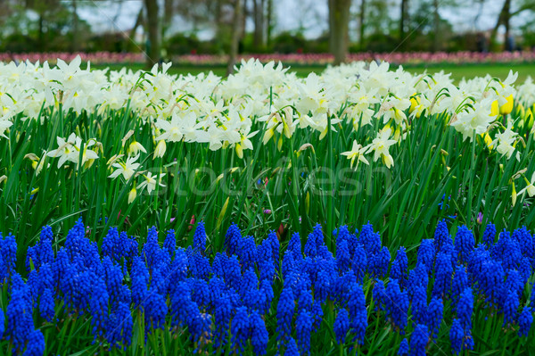 Narcissen vers witte voorjaar groeiend Stockfoto © neirfy