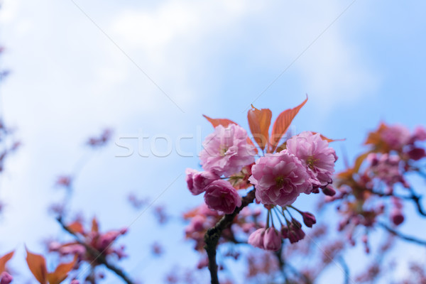 Garden with magnolia tree Stock photo © neirfy