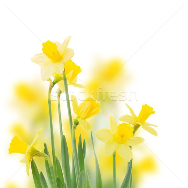 Primavera creciente narciso flores aislado Foto stock © neirfy