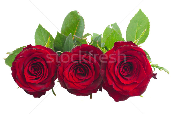 two scarlet red roses Stock photo © neirfy