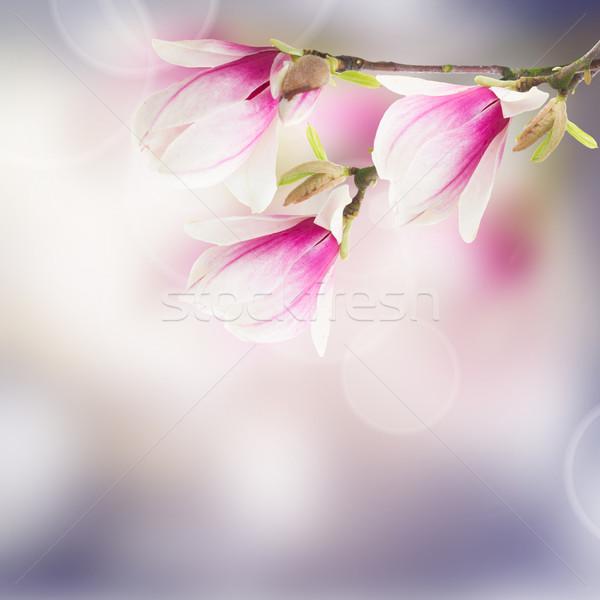 Roze magnolia boom bloemen vers bokeh Stockfoto © neirfy