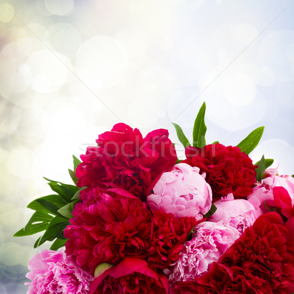 pink and red  peonies Stock photo © neirfy