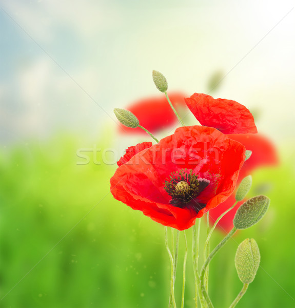 Poppy red  flowers Stock photo © neirfy