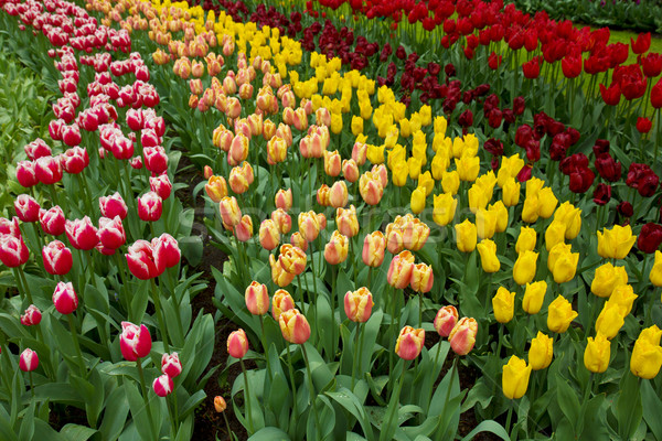 holland tulips fields Stock photo © neirfy