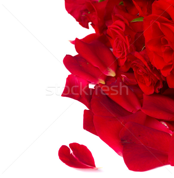 scarlet  roses with petals Stock photo © neirfy