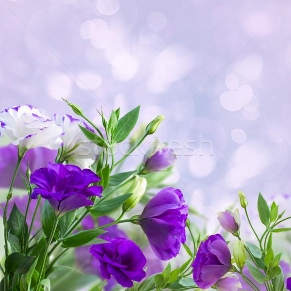 Eustoma flowers on blue Stock photo © neirfy