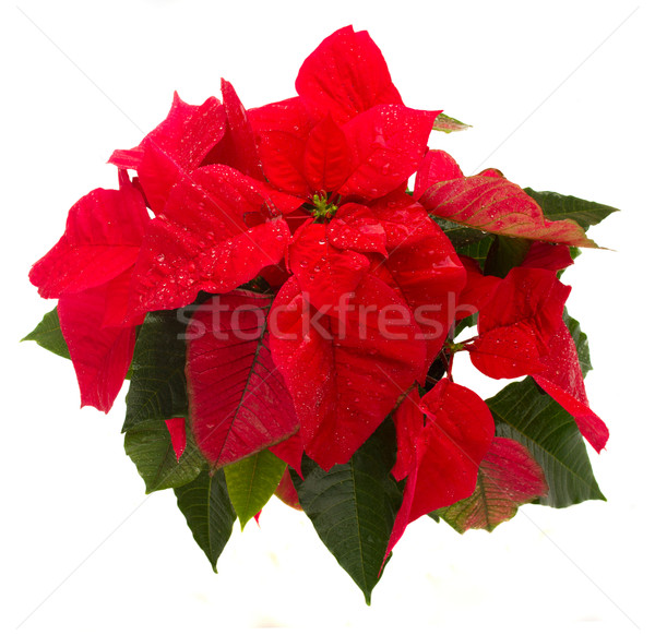 scarlet poinsettia flower or christmas star  Stock photo © neirfy
