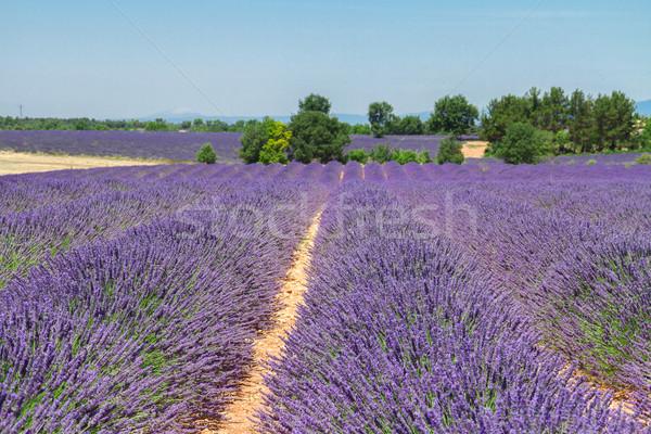 Campo de lavanda verão blue sky França natureza Foto stock © neirfy