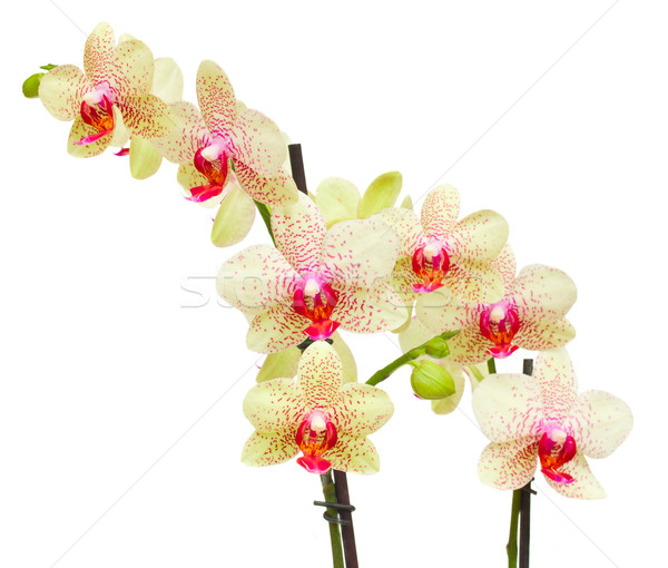 fresh yellow and red orchid   branch Stock photo © neirfy