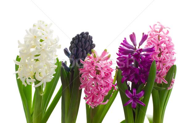 Sümbül çiçekler yalıtılmış beyaz çiçek Stok fotoğraf © neirfy