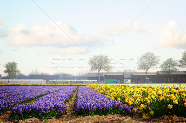 Holandés primavera jacinto flores campo azul Foto stock © neirfy