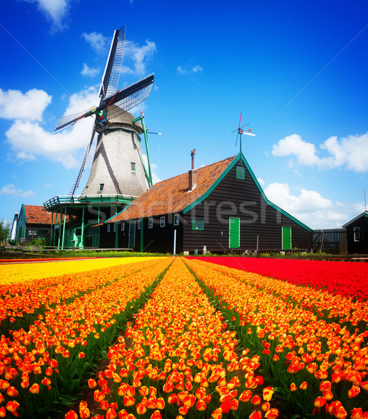 Photo stock: Moulin · à · vent · tulipes · domaine · orange · holland
