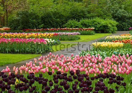 Fiori di primavera Holland parco colorato primavera aiuola Foto d'archivio © neirfy
