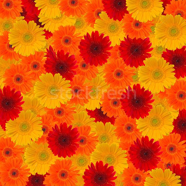 heads of gerbera flowers Stock photo © neirfy