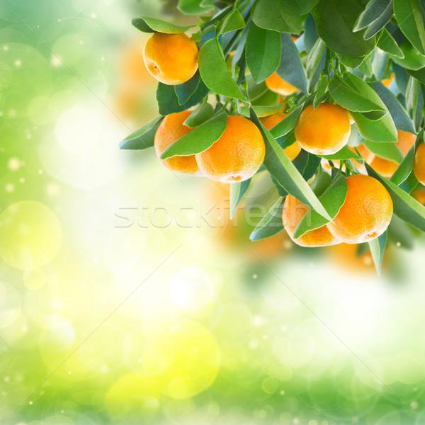 Mandalina ağaç bahçe yeşil meyve Stok fotoğraf © neirfy