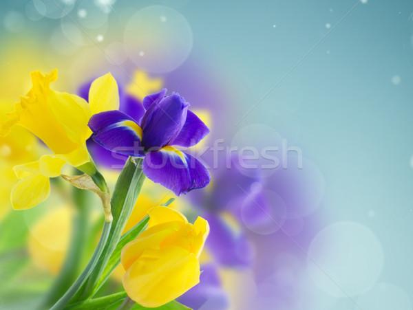 Bahar iris sarı nergis mavi bokeh Stok fotoğraf © neirfy