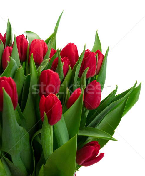 bouquet of red tulips Stock photo © neirfy