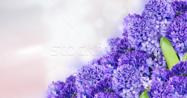 Stock photo: Blue  hyacinth