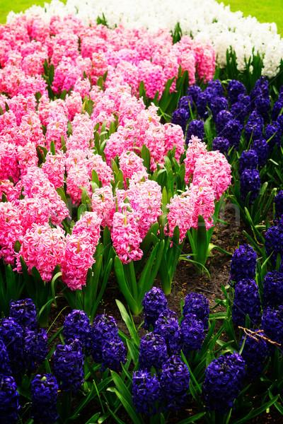 青 ヒヤシンス 花壇 ピンク 白 オランダ語 ストックフォト © neirfy