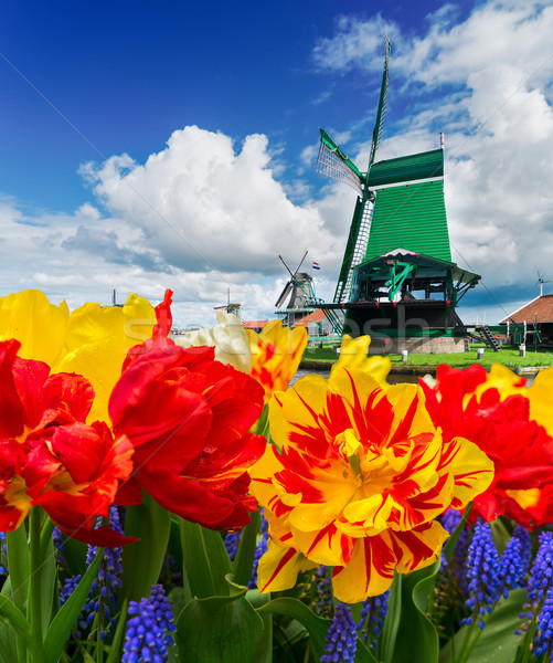 Holandês vento tradicional tulipas Foto stock © neirfy