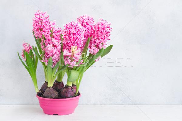 Sümbül taze çiçekler pembe büyüyen pot Stok fotoğraf © neirfy