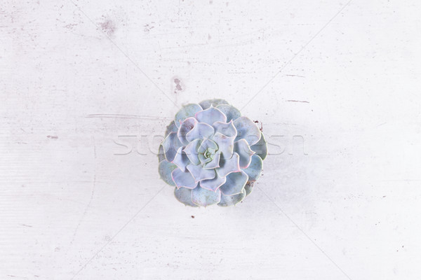 Succulent growing plants Stock photo © neirfy
