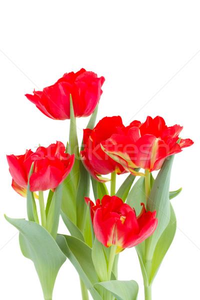 Buquê vermelho tulipas isolado branco Foto stock © neirfy