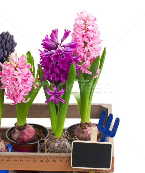 hyacinth flowers close up Stock photo © neirfy