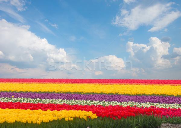 Stok fotoğraf: Hollanda · sarı · lâle · alanları