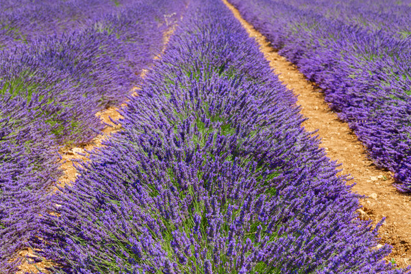 Campo de lavanda verão fresco França Foto stock © neirfy