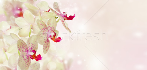 Foto stock: Rosa · orquídea · flores · flor · jardim