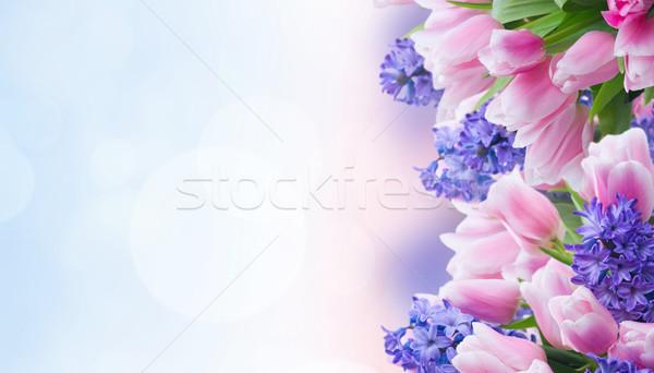 Foto stock: Tulipas · rosa · azul · flores · jardim · bokeh