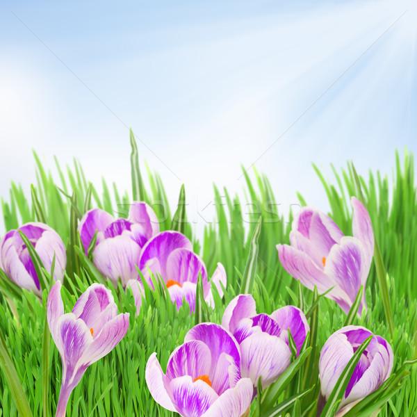 spring crocuses Stock photo © neirfy
