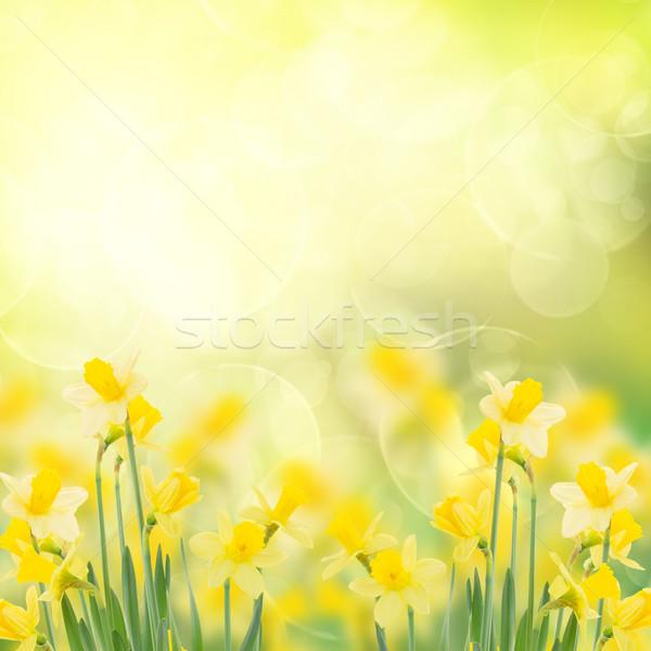Voorjaar groeiend narcissen tuin geïsoleerd witte Stockfoto © neirfy